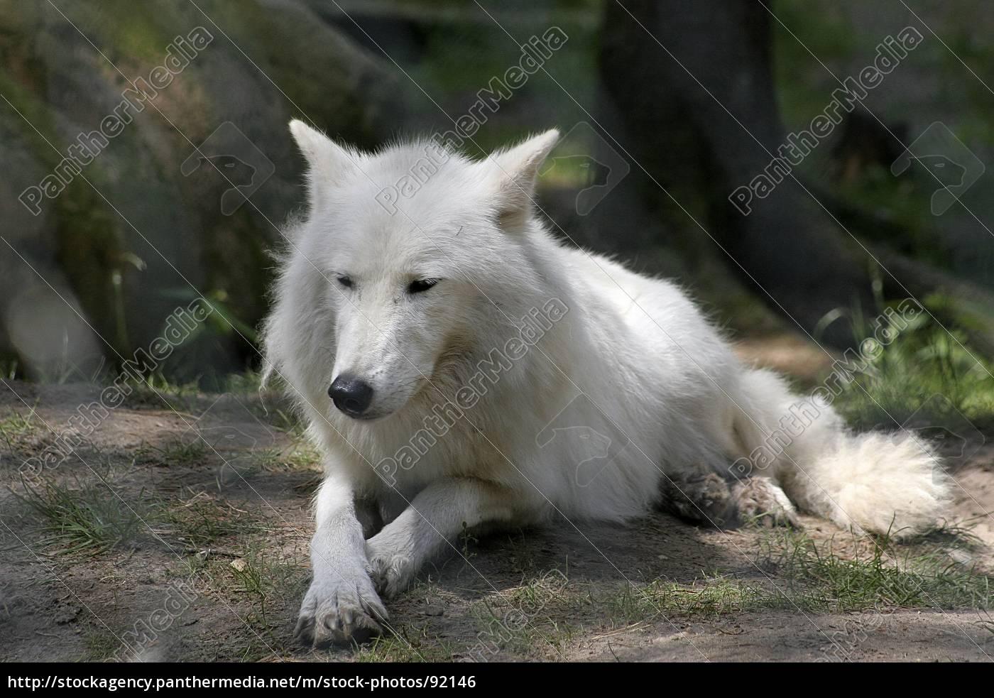 white, wolf - 92146