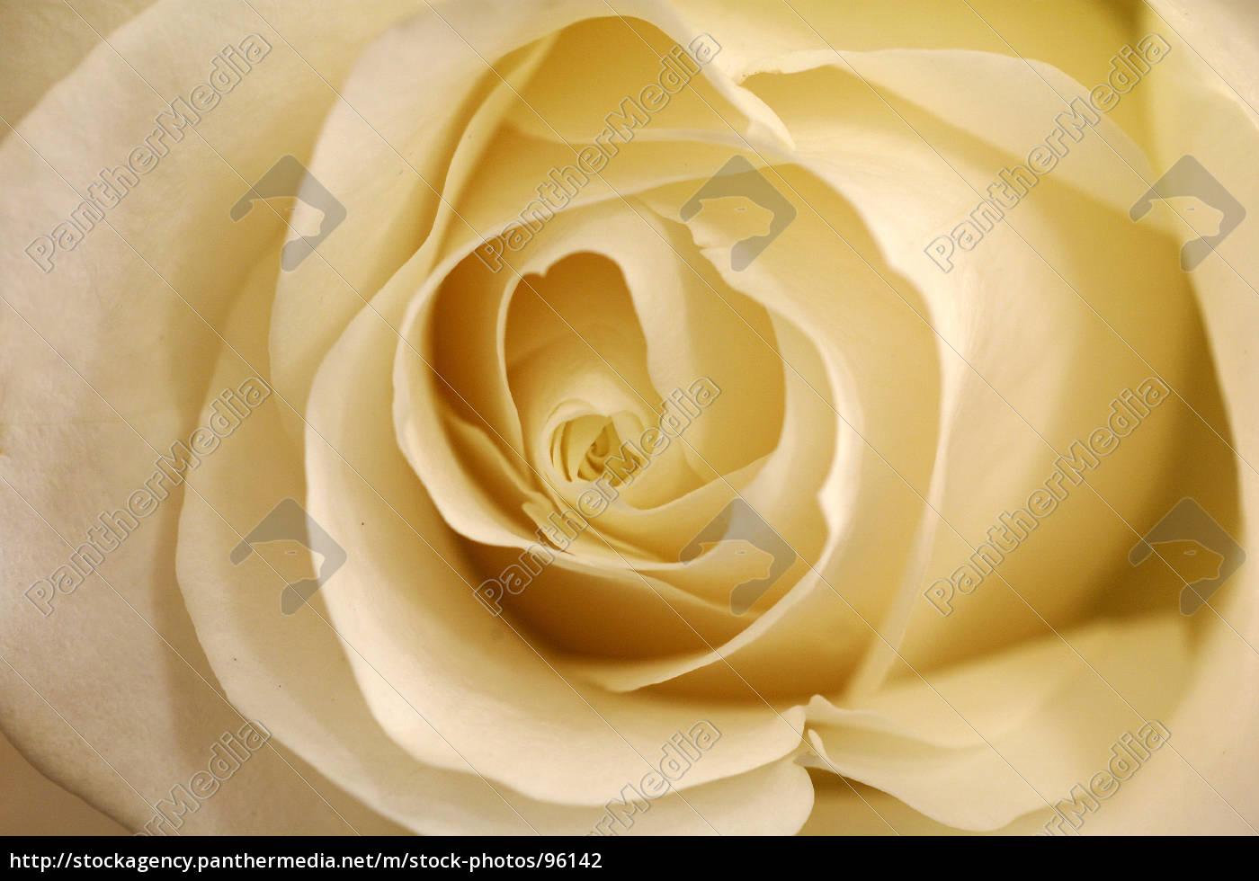 wedding, rose - 96142