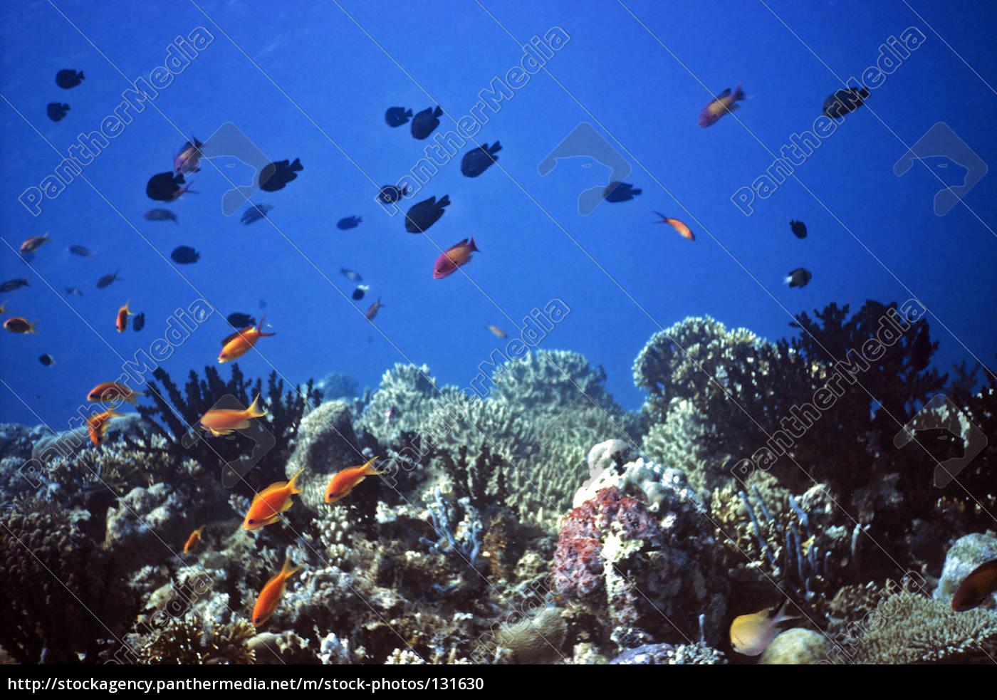 maldivian, coral, reef - 131630