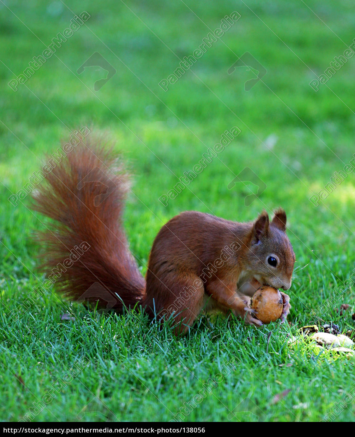 squirrel, at, work - 138056