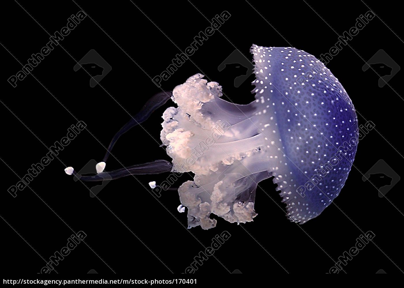 the, jellyfish - 170401