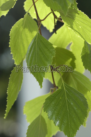 birch, leaves - 174121