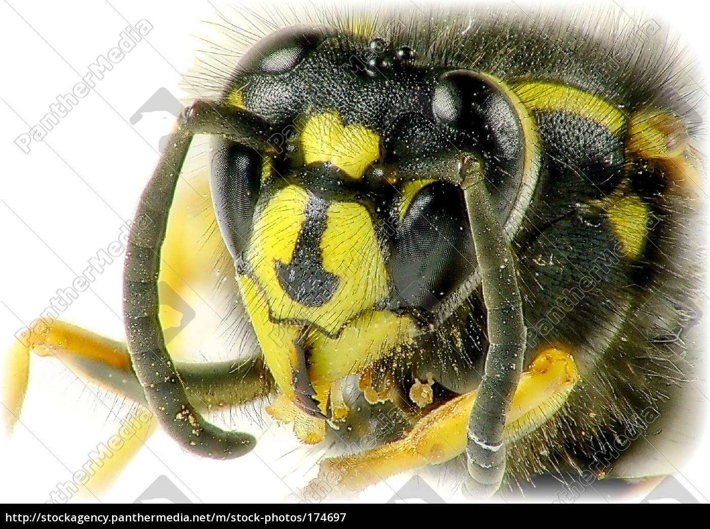 wasp, portrait - 174697