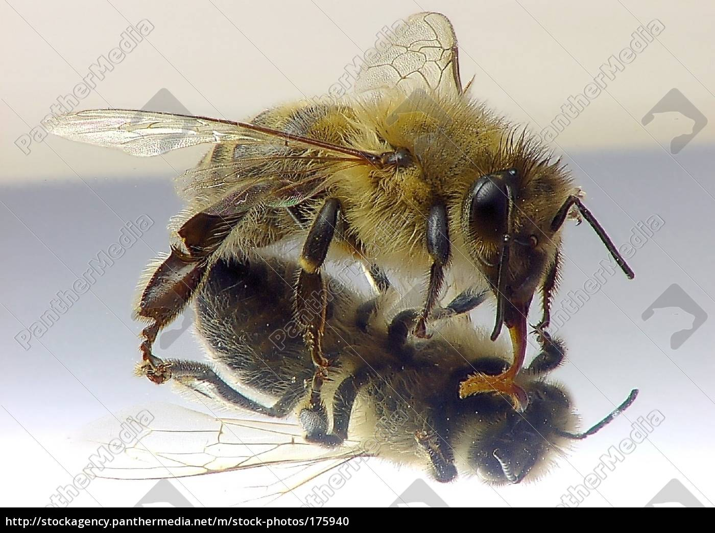 bee, in, the, mirror - 175940