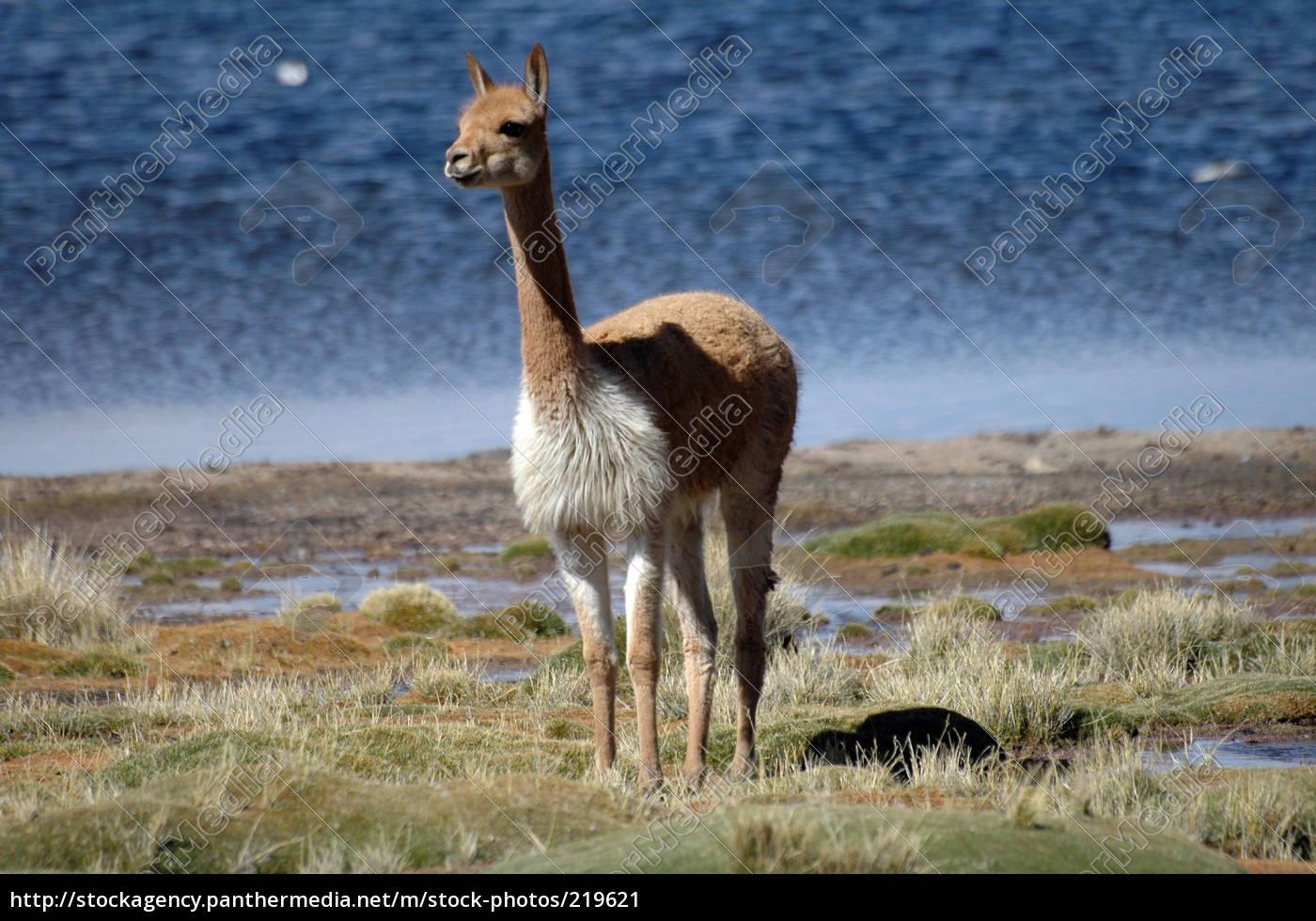 vicuña - 219621