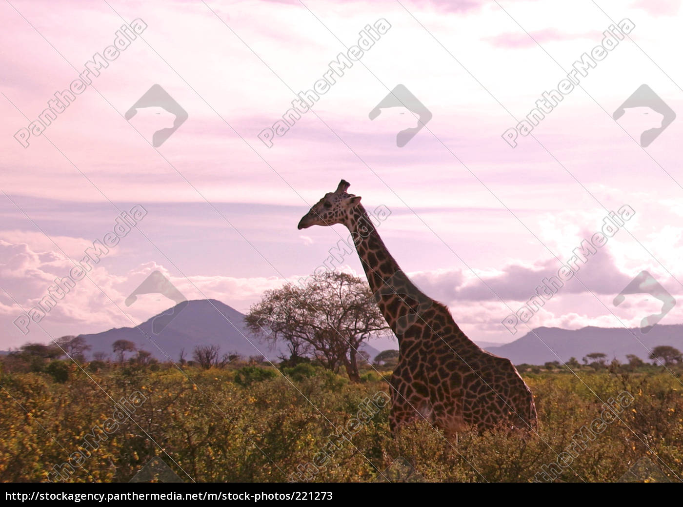safari - 221273