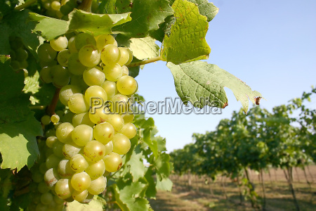 white, grape - 228776
