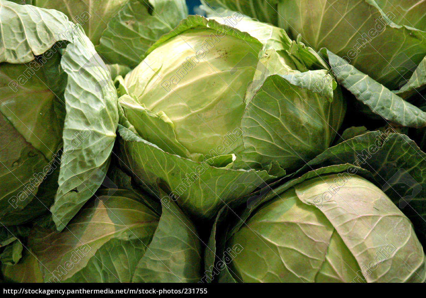 cabbage - 231755