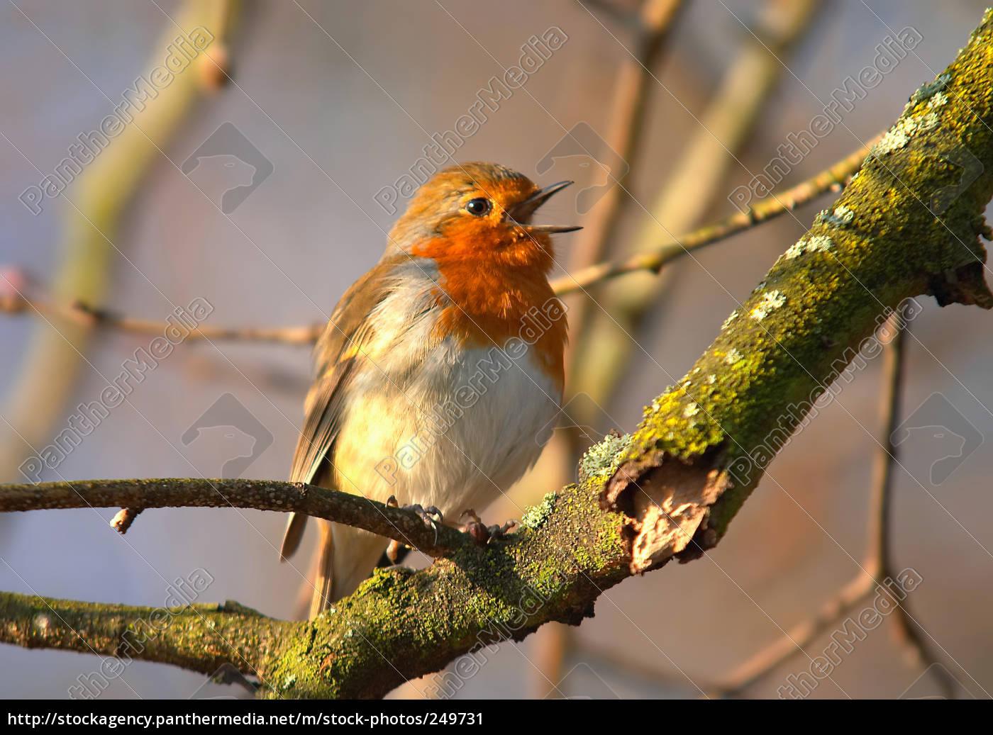 singing, robin - 249731