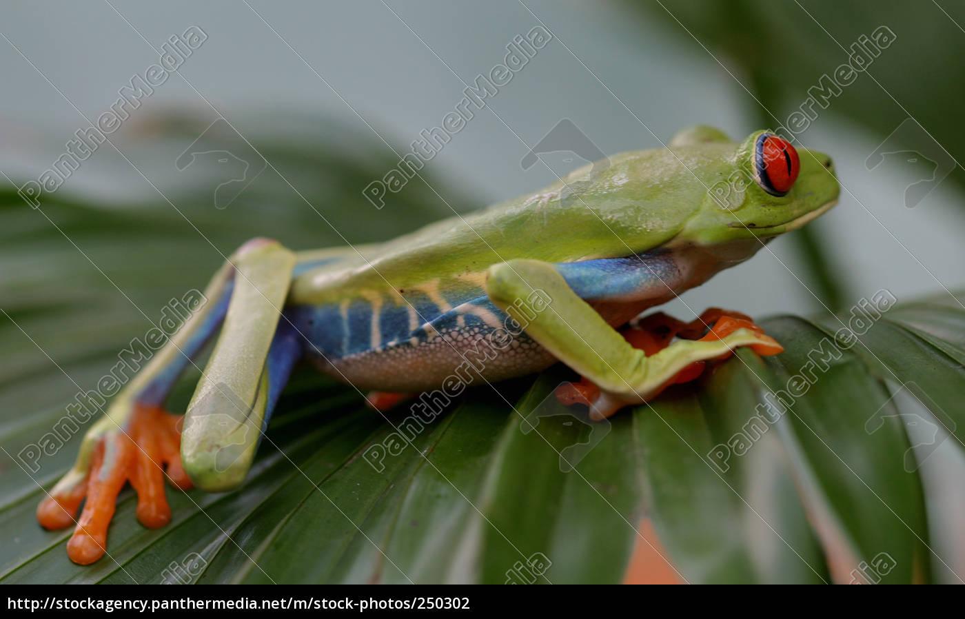 tree, frog, -, rotaugenlaubfrosch - 250302