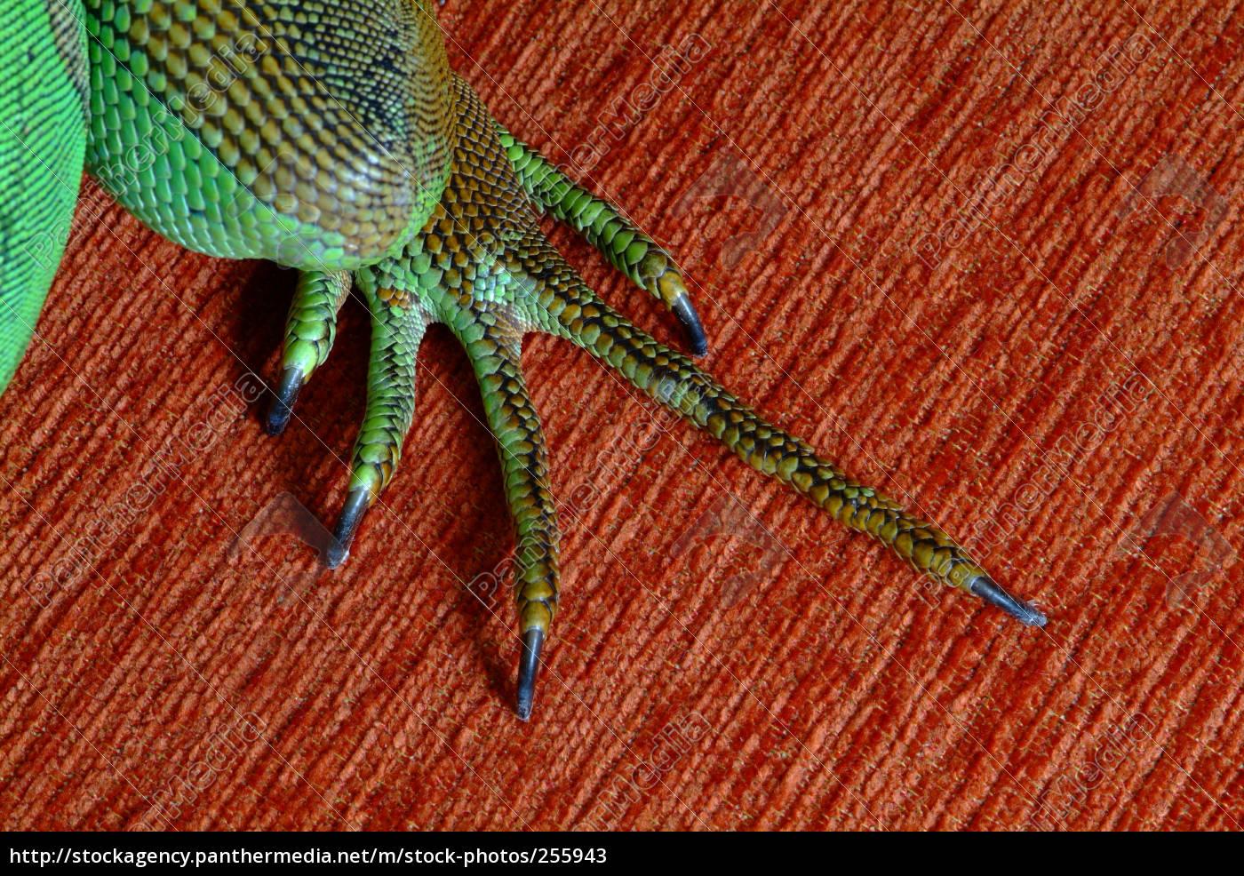 iguana, 22 - 255943
