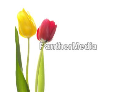 tulips - 259467