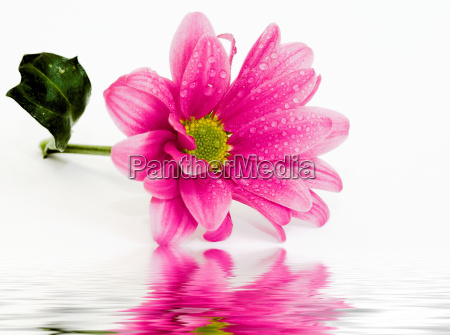 wet, chrysanthemums, i, part, iii - 262932