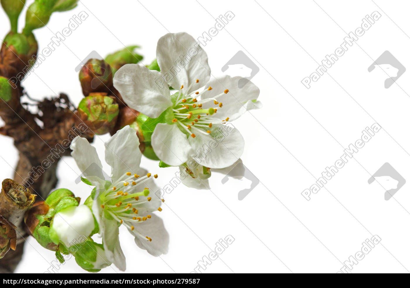 the, first, cherry, blossoms - 279587