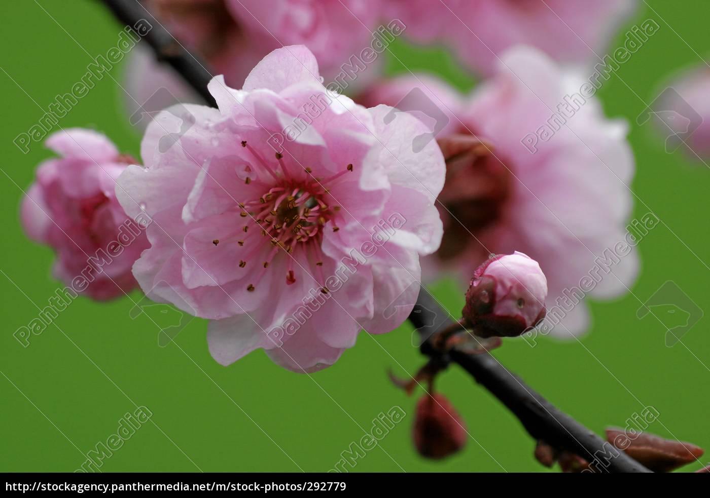 cherry, blossom - 292779