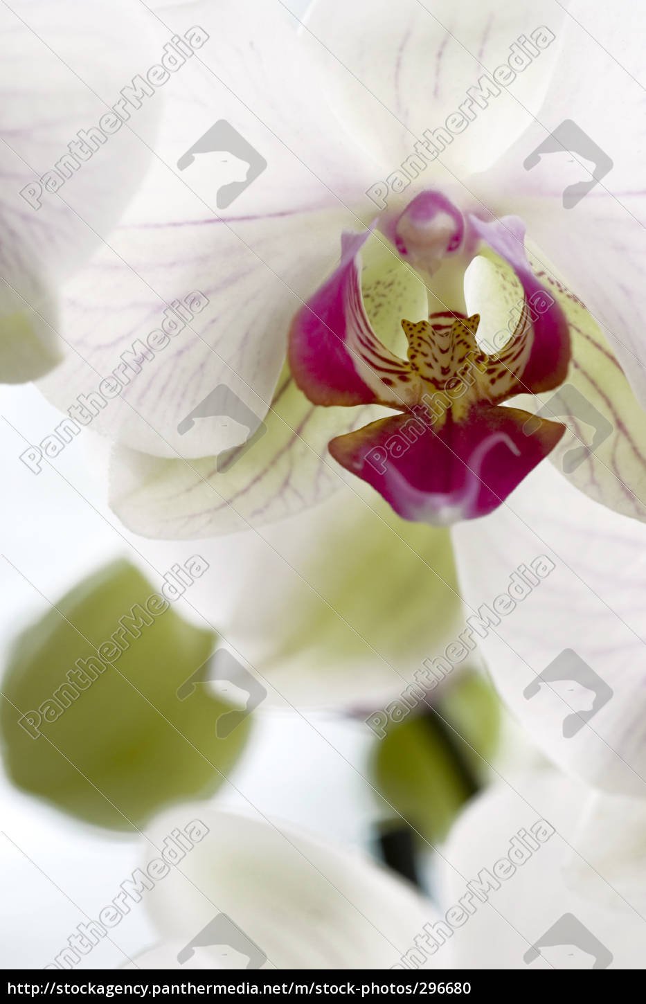 orchid - 296680