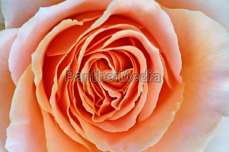 rose - 298785