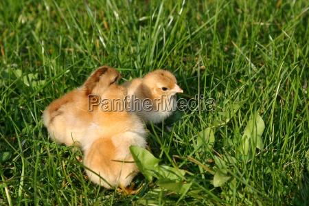 freshly, hatched - 300317