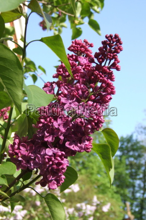 lilac precioso red