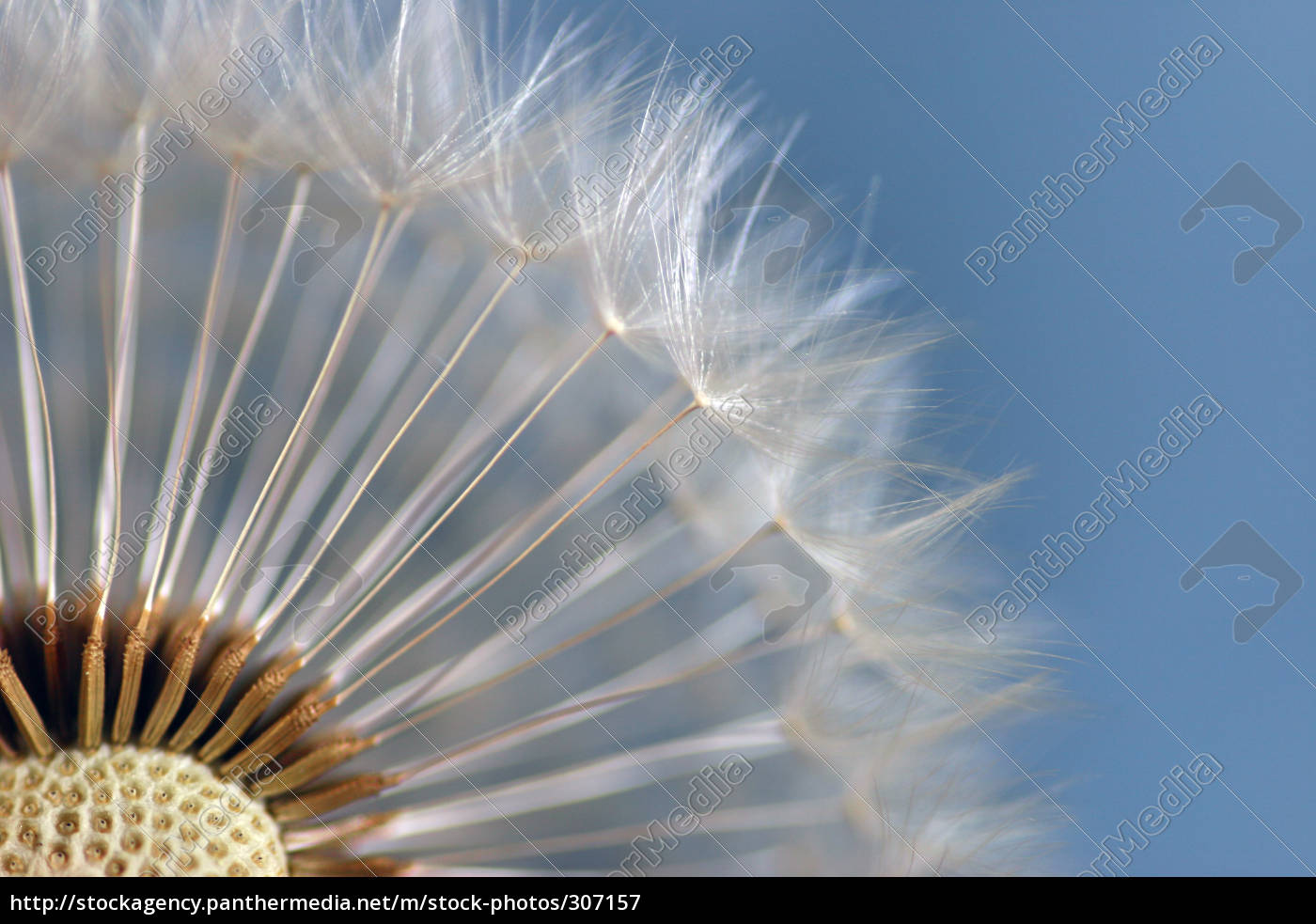 dandelion, 6 - 307157