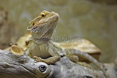 bearded, dragon, -, pogona, vitticeps - 313034