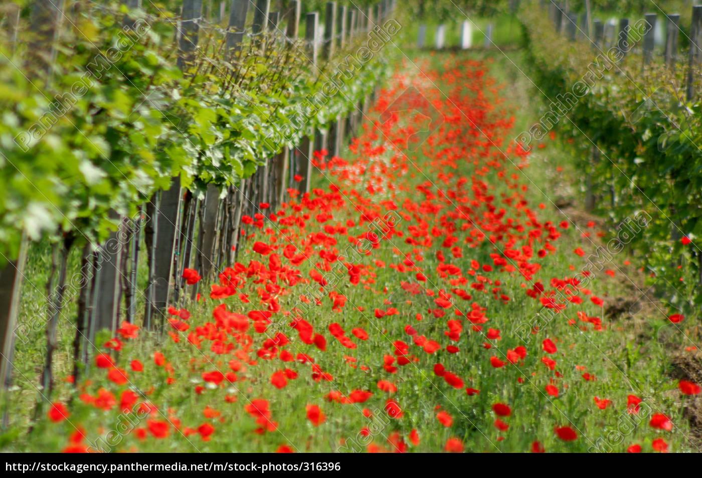biological, viticulture, in, burgenland - 316396