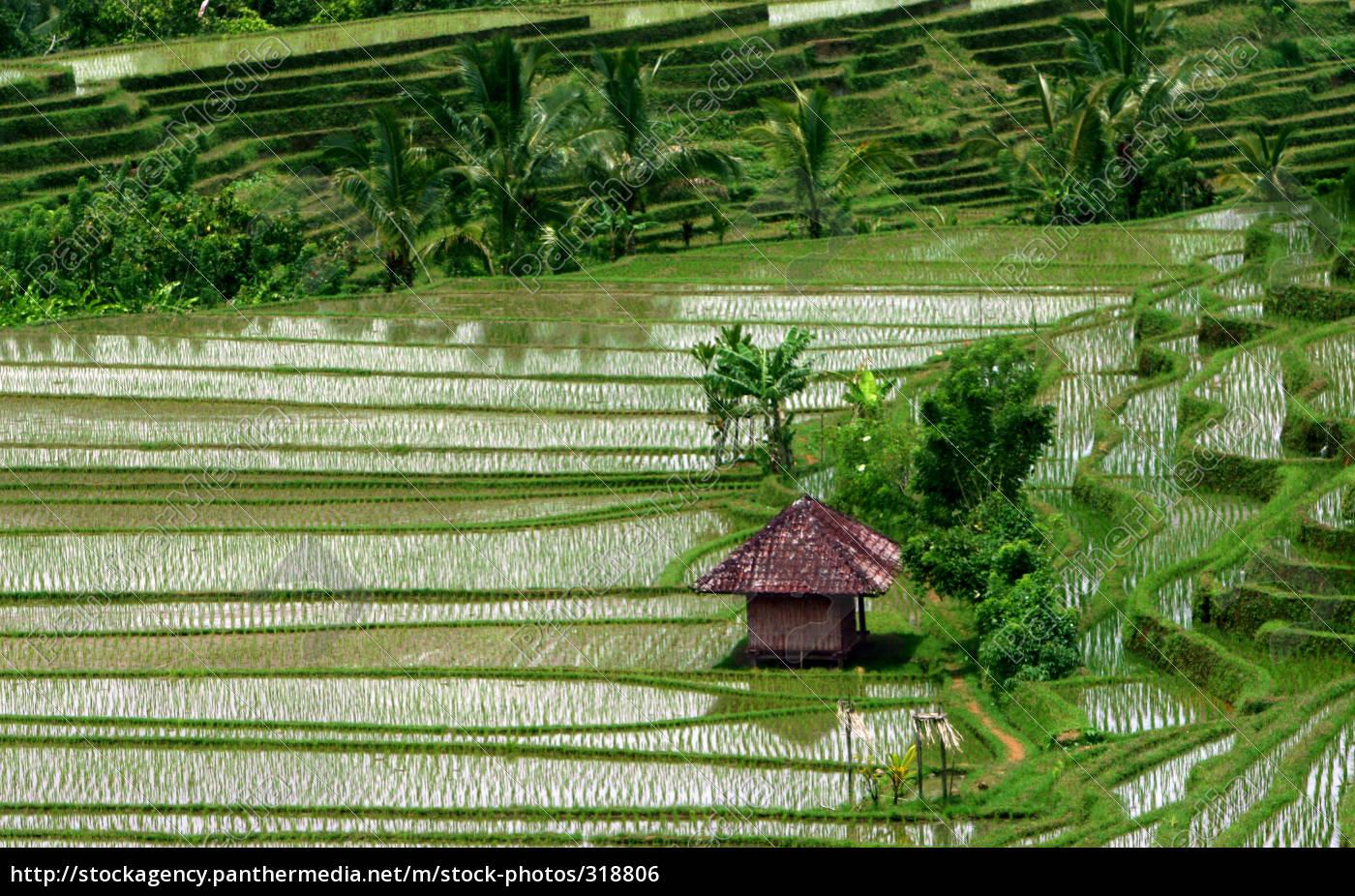 rice, terraces, 3 - 318806