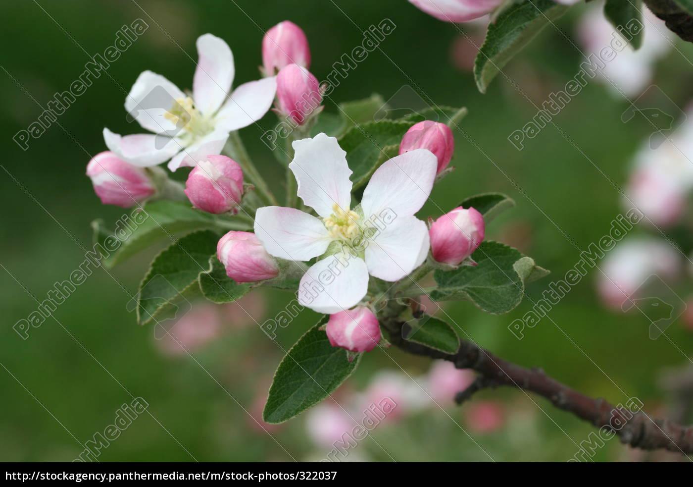 blossom - 322037