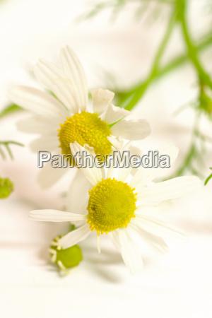 chamomile, flowers, 2 - 324504