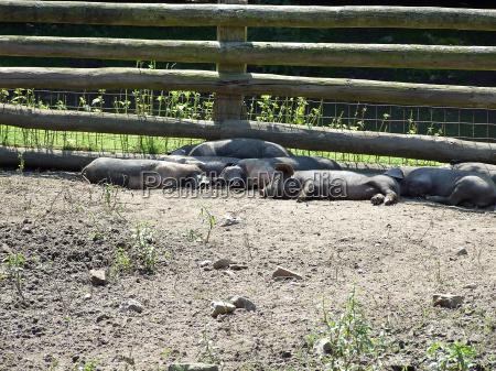 animal fence recuperation mud farm piglet