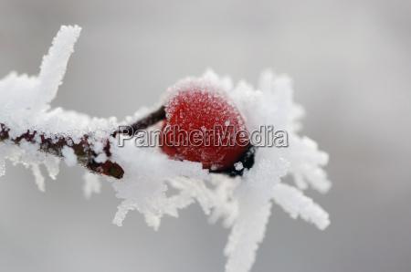 wildrose im winter