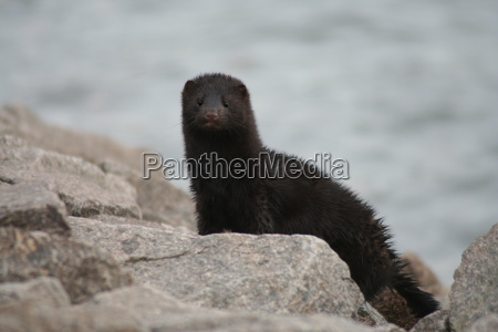 mink an american mink