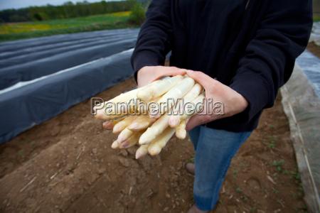 white asparagus on a spargelfeld