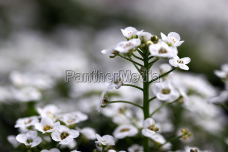 clear crystal white alyssum