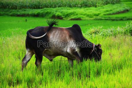 thai bull