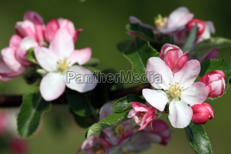 beautiful pink apple flowers in close
