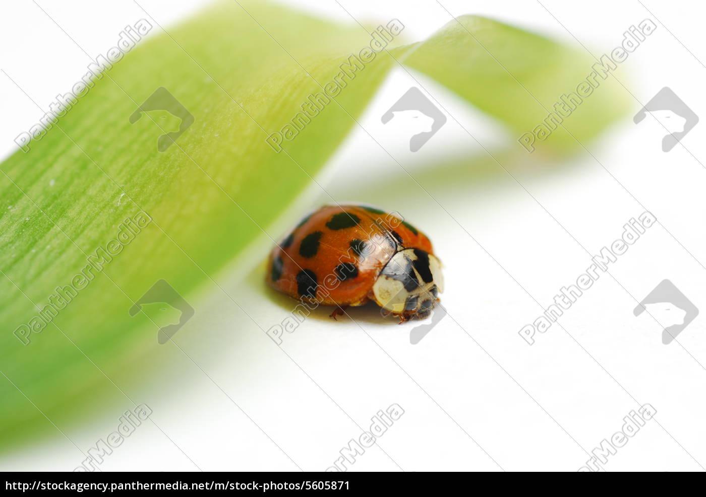 macro, red, ladybug - 5605871