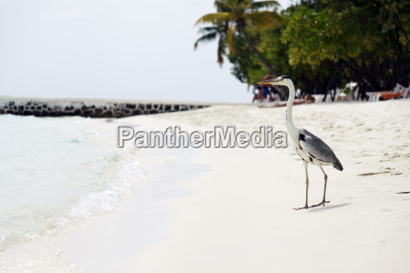 heron on beach