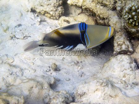 lagoon triggerfish rhinecanthus aculeatus