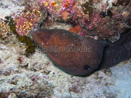 giant moray eel gymnothorax javanicus