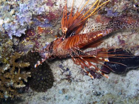 spot fin lionfish pterois antennata