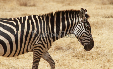lone zebra walking