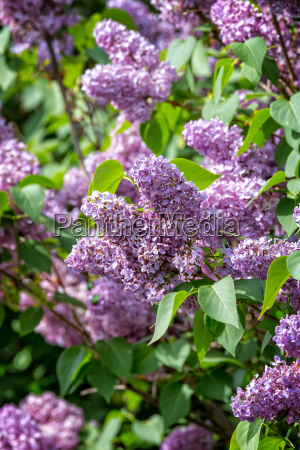 common lilac