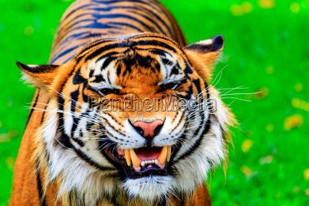 grinning tiger
