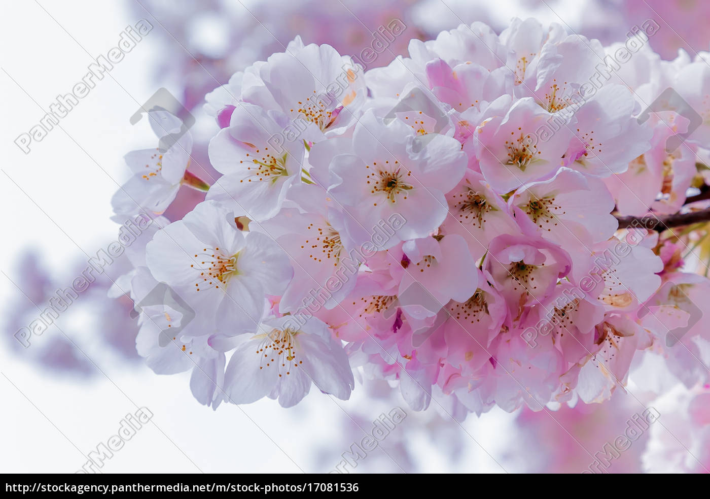 cherry, blossoms - 17081536