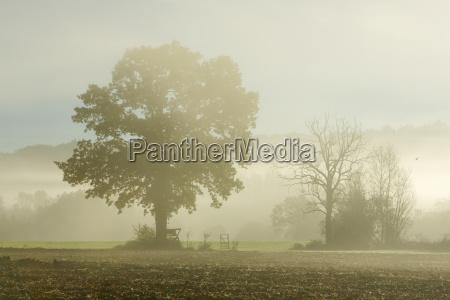 oak tree in field with morning
