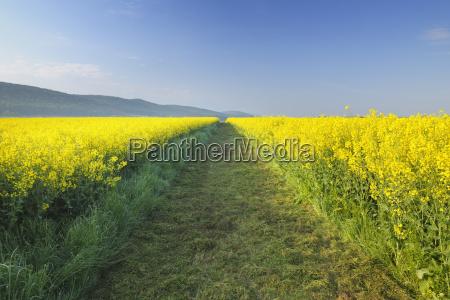 path through canola field roellbach spessart