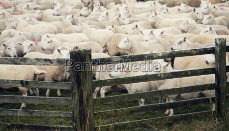 sheep by wooden gate