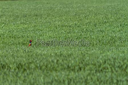 one common pheasant phasianus colchicus in