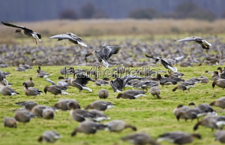 migrating pink footed geese over wintering
